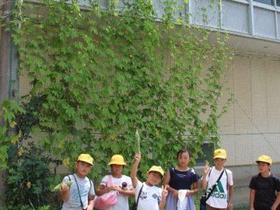安行小の夏 グリーンカーテン ゴーヤ・夏野菜の収穫 7月29日(月)