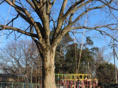 けやきの木でブランコ(自然サイエンスクラブ)2月13日(木)