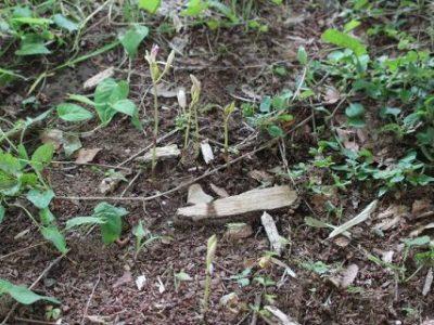 安行原自然の森(平岡山)の貴重種 マヤラン