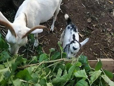 赤ちゃんやぎが 草を食べ… もう…