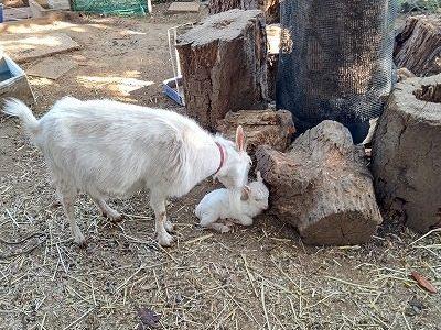 ヤギの赤ちゃん誕生! 6月12日(土)