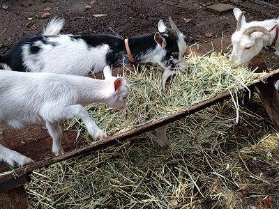 ヤギの赤ちゃん 牧草をたべています