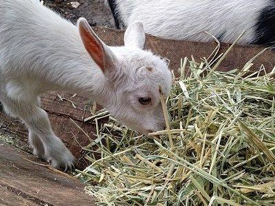 赤ちゃんヤギ、インコの名前が決まりました