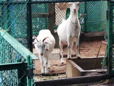 オスヤギ 牧場にもどる… 7月25日(土)