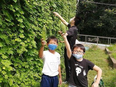 ゴーヤの収穫 給食でゴーヤチップスを食べよう! 4年生・エコクラブ 8月26日(水)
