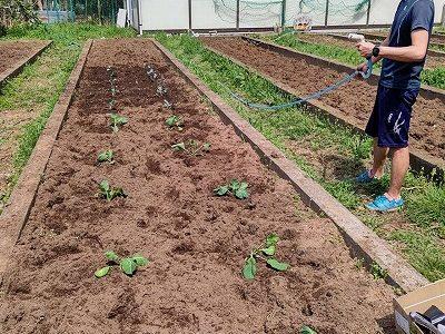 学年園にキャベツとブロッコリーを植えました